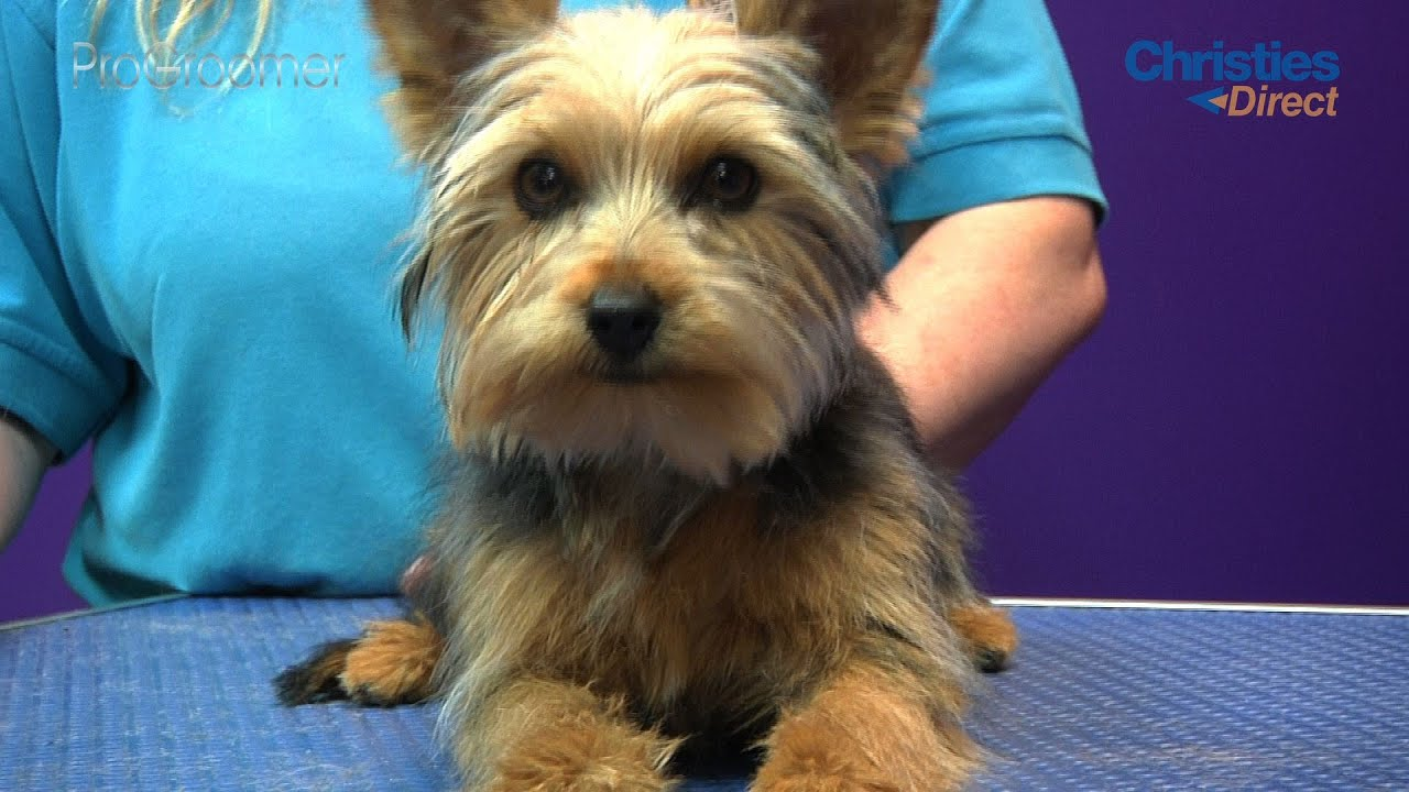 Yorkshire Terrier Puppy Trim