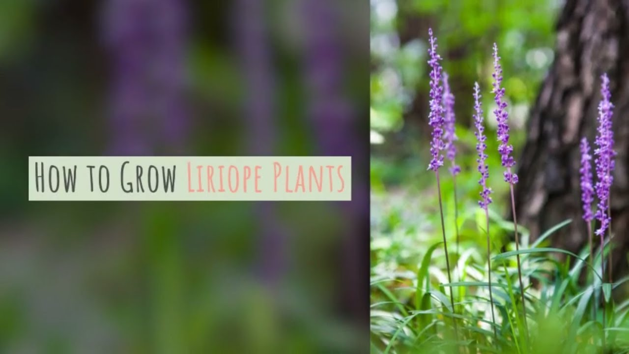 Liriope Plant How To Grow Lily Turf Gardeners Hq
