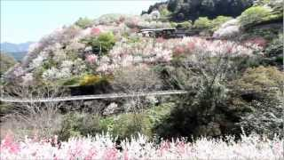 Repeat youtube video 仁淀川町の花桃の里(高知県)
