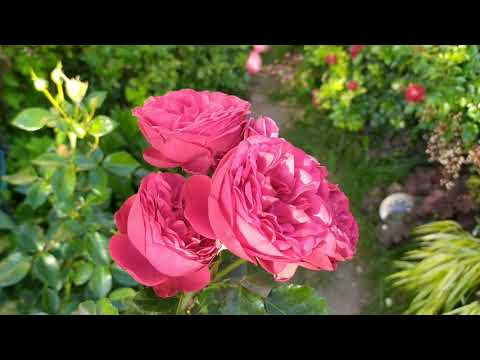 Вопрос: Какие розы компактные, цветение одновременное, быстро не осыпаются?