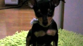 生後二ヶ月半のミニチュアピンシャーの子犬。エサで釣ってますが『おい...