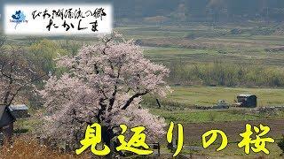 水上勉の「櫻守」の題材となった高島市マキノ町海津の「清水の桜(しょうずのさくら)」を地上と空中(ドローン)から撮影しました。 チャン...