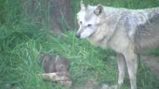 円山動物園のシンリンオオカミ、ジェイ(オス/5歳)とキナコ(メス/10歳)と...