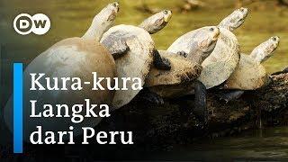 Kura-kura Air Tawar Peru Nasibnya di Ujung Tanduk