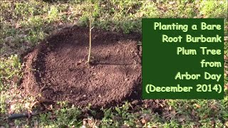 Planting A Bare Root Burbank Plum Tree From Arbor Day (december 2014) - Episode 3