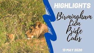 Highlights Ngala - Youngest Birmingham Pride Lion Cubs 13th may 2020