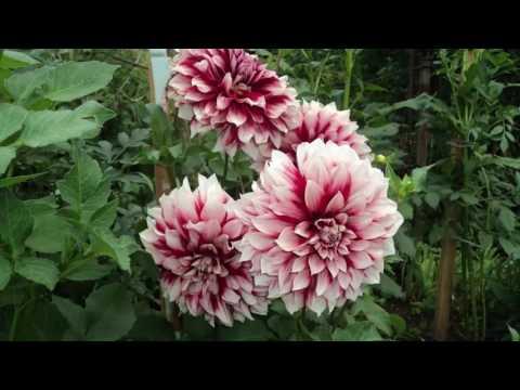 Красивые георгины в саду. Красивые фото георгин. Георгины - украшение осенней клумбы.mp4