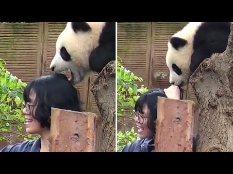 Thumbnail: Adorable Panda Tries To Stop Selfie By Eating Woman's Hair
