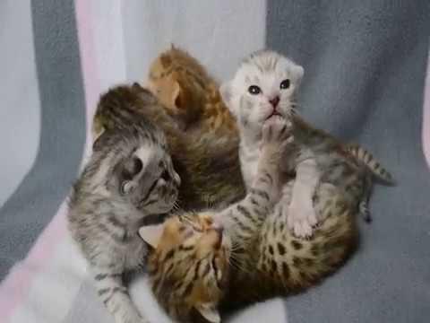 Peekaboo's Ocicat kittens 2 weeks old