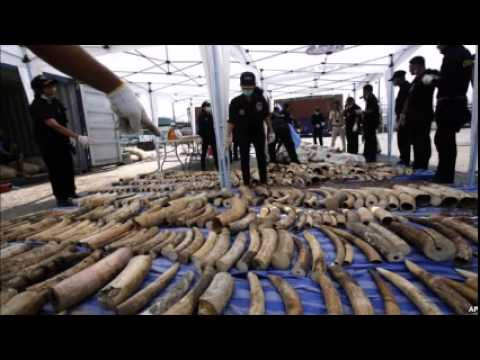 Thailand Makes Record Seizure of African Ivory