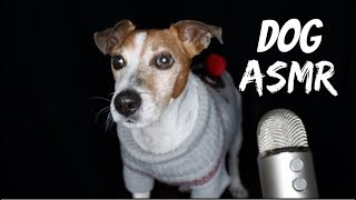 ASMR DOG - CHITO LE JACK RUSSEL ( dégustation, chuchotement )