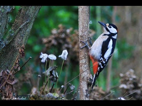 chardonneret , merle , mésanges , pic épeiche ,rouge gorge :  oiseaux dans mon jardin HD n°1