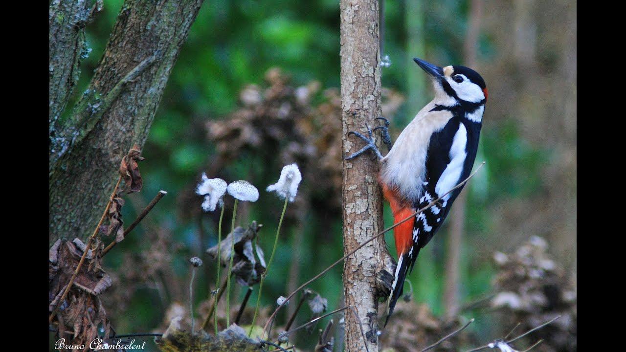 Chardonneret merle m sanges pic peiche rouge gorge oiseaux dans mon jardin hd n 1 - Chants oiseaux des jardins ...