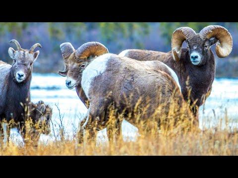 Bighorn Rutting Season Begins In Canada's Rockies