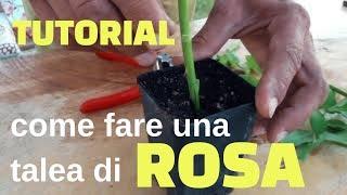 Tutorial su come propagare le rose tramite talea