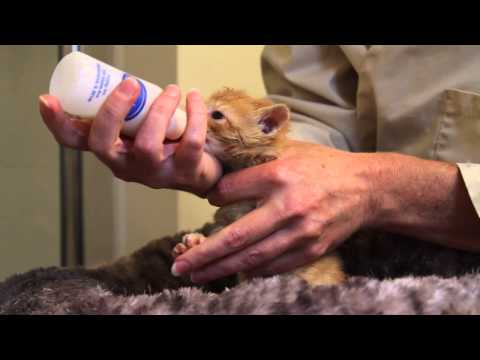 Orphaned Kitten Care: How to Videos - How to Bottle Feed an Orphaned Kitten