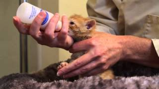 Orphaned Kitten Care: How to Videos - How to Bottle Feed an Orphaned Kitten