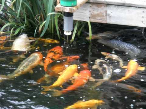 Koi eating from automatic feeder youtube for Koi auto feeder