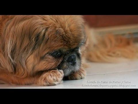 Pekingese (Pekinés) / Dog Breed