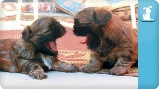 Puppy Love - Shih-tzu