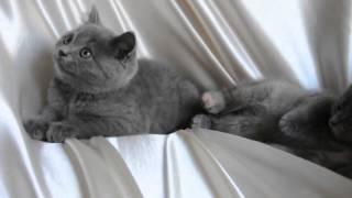 самая любимая порода кошек  британская голубая
