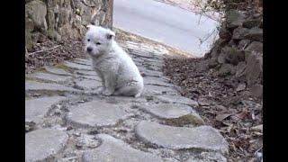 산촌마을에서 만난 귀여운 아기 진돗개....A cute…