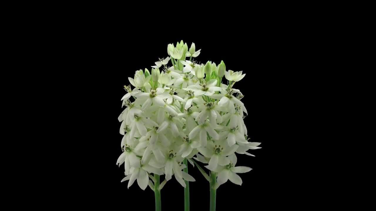 Star Of Bethlehem Flowers Open Stock Video Youtube