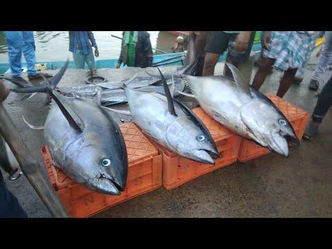 Live Fish Market - INDIA    AWESOME TUNAFISH AND SWORDFISH