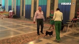 Брабансоны ветеран против юниора Собака я Brabancon