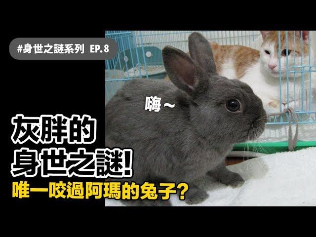 【灰胖的身世之謎!唯一咬過阿瑪的兔子?】志銘與狸貓