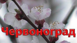 12 Квітень 2019 ввечері в Червонограді цвітуть дерева як в Японії сакура