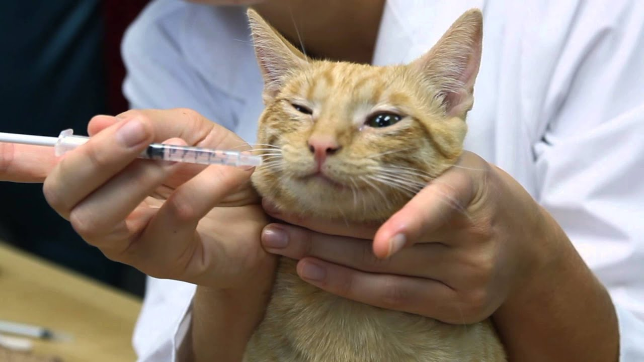 How to inject a cat intramuscularly Tips and Tricks