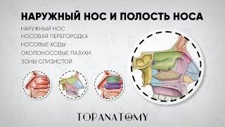 анатомия Человека  - Носовая полость