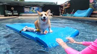 5 Month Old Pembroke Welsh Corgi Puppy Gets Familiar With The Water & Swimming 2