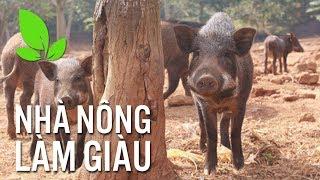 Lộ bí quyết nuôi lợn rừng