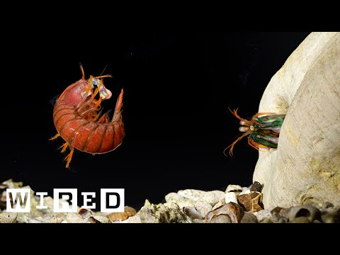 mantis shrimp punch slow motion