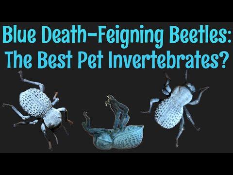 Blue Death-Feigning Beetles: The Best Pet Invertebrate?