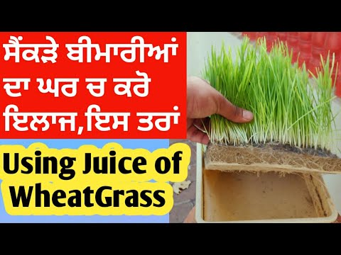 Wheatgrass juice making process | Organic wheatgrass health Benefits