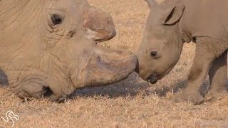Old Rhino Meets Baby Rhino And Falls In Love