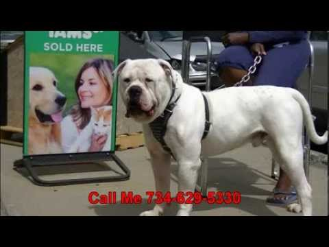 American Bulldog 100k Per Year How To Stud Your Dog...