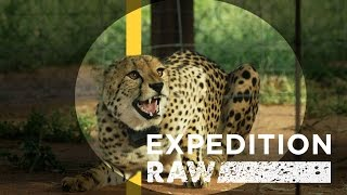 Cheetah Matchmaking  Helping Big Cats Find A Mate | Expedition Raw