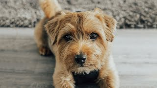 My Norfolk Terrier  Teddy