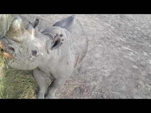 Blind Rhino up close in Kenya