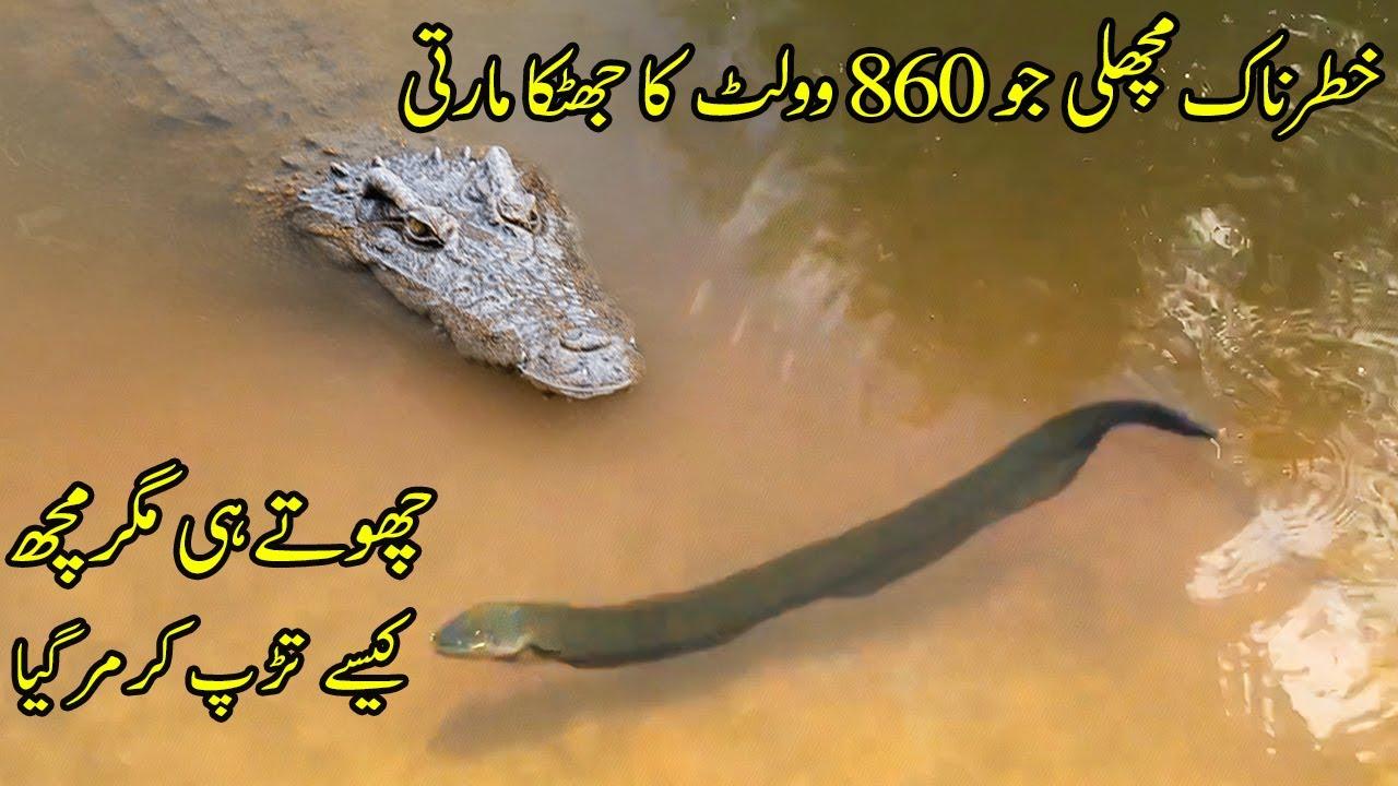 Fish Jo 860 Volts Ka Jhatka Maarti Hai