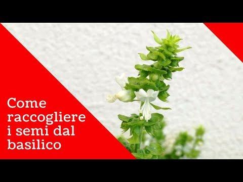 Fiori Bianchi Basilico.Basilico Come Prendere E Conservare I Semi Dalla Pianta Youtube