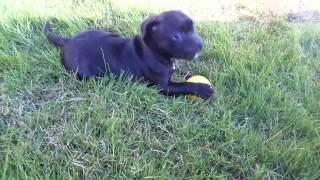 スタッフィの仔犬とボール遊びしました。