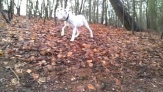 Skye - Staffordshire Bull Terrier X Old English Bulldog Puppy