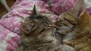 Кошки целуются