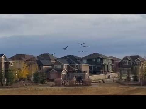 Canada Goose visits Panorama NW Calgary