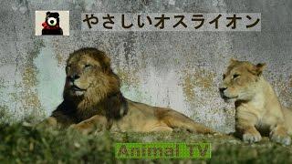 やさしい雄ライオン【アニマルテレビ】 ライオンのオスは、イザっという...